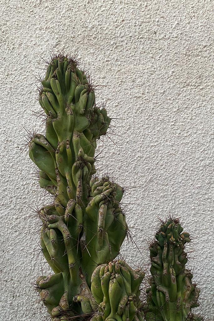 Cactus, Lofou