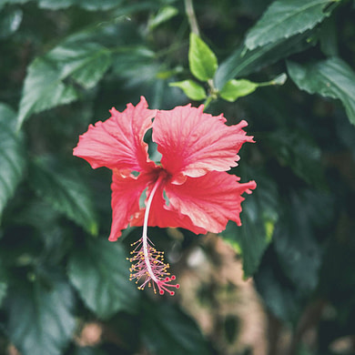 Pink hibiscus flower with green leaves surrounding it.