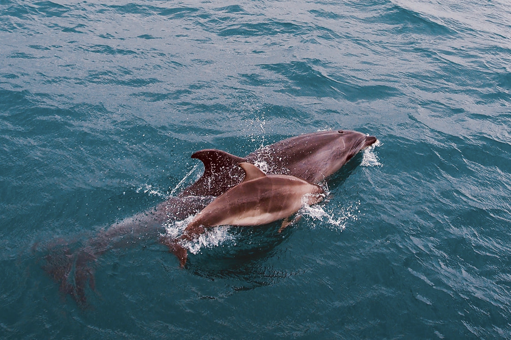 Dolphins, Bay of Islands, New Zealand