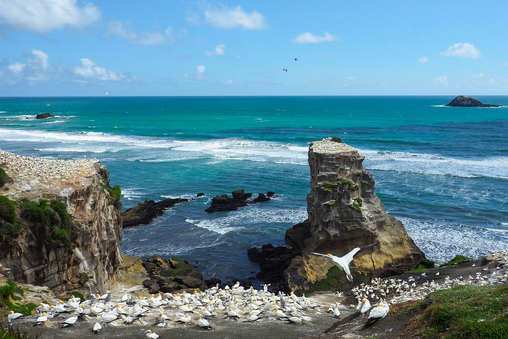 A gannet colony next to the ocean at Muriwai.