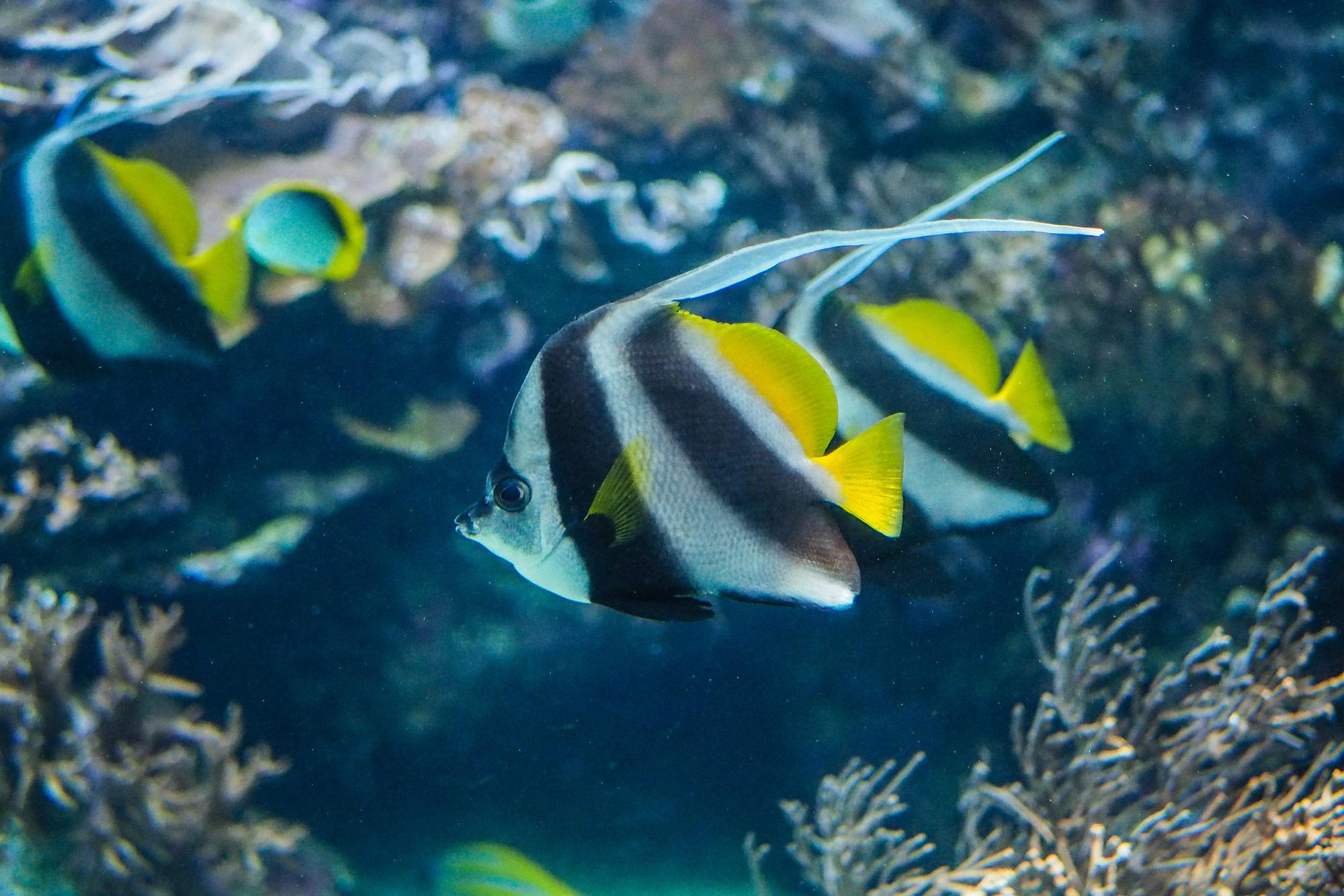 Black, white, and yellow Angelfish in the aquarium.