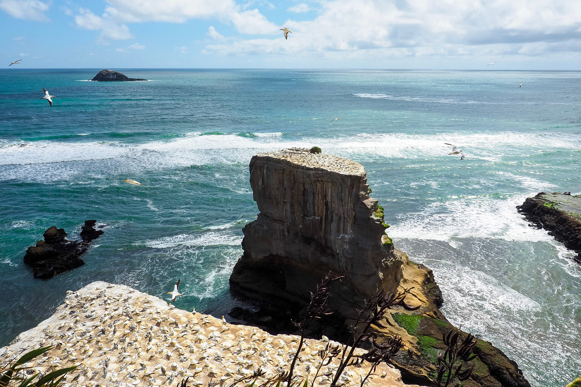 Gannets flying around their clifftop colony at Muriwai beach.