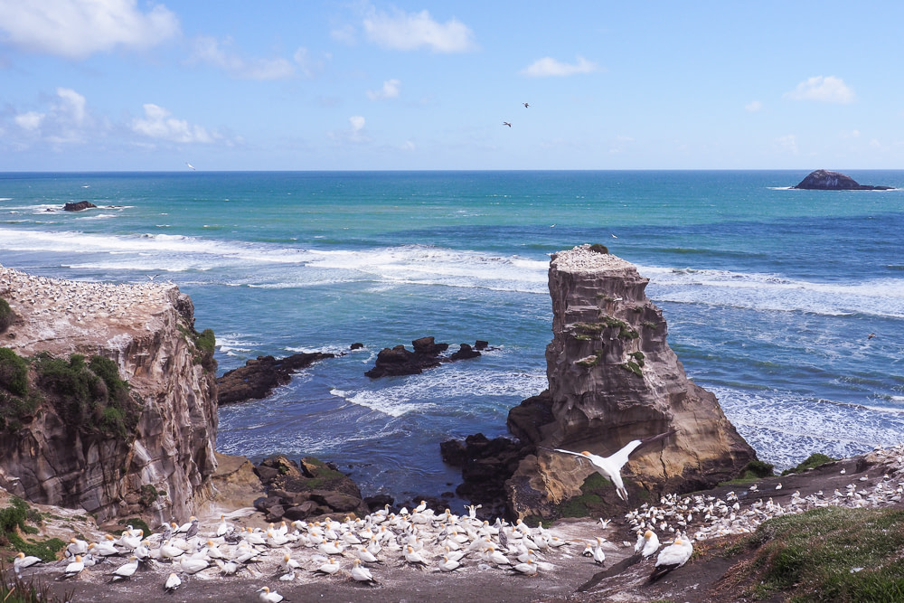 Muriwai Gannet Colony, West of Auckland, New Zealand